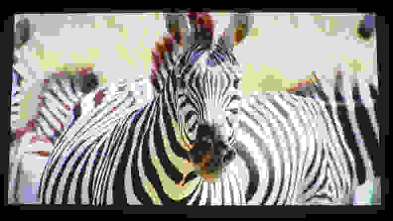 zebra-4K