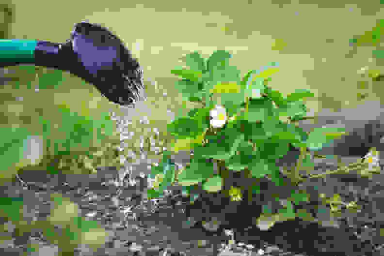 Watering in fertilizer