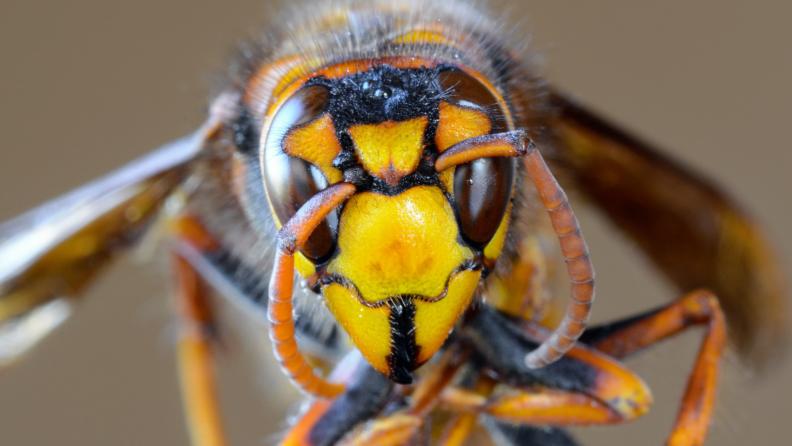 asian hornet face