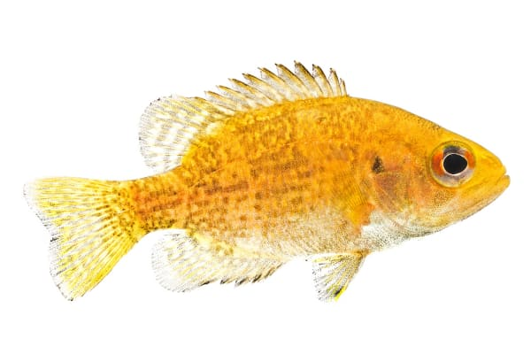 Stream Bass