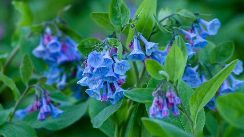 virginia-bluebells