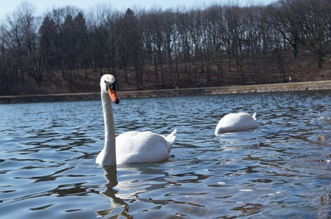 Swan Sample