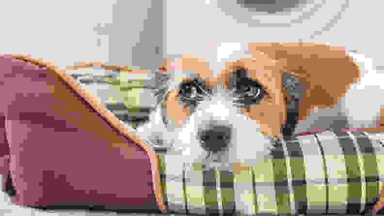 A white and tan dog rests their chin on a plaid fabric dog bed that's inside a laundry room