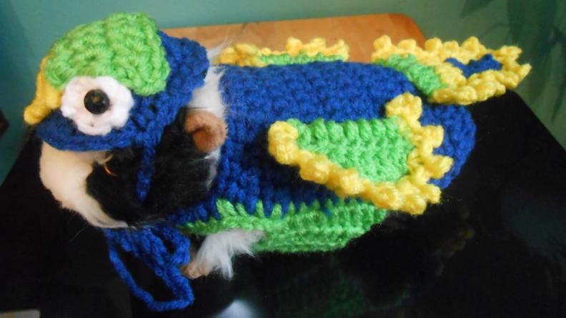 Guinea pig dressed like parrot