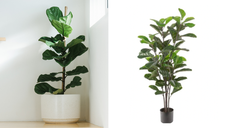 On the left, a real fiddle leaf fig plant against a white wall with natural light coming in. On the right, a fake fiddle leaf fig against a white background in a black planter.