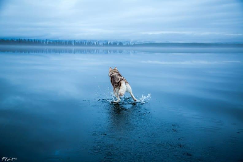 Huskies-Walking-On-Water-10.jpg