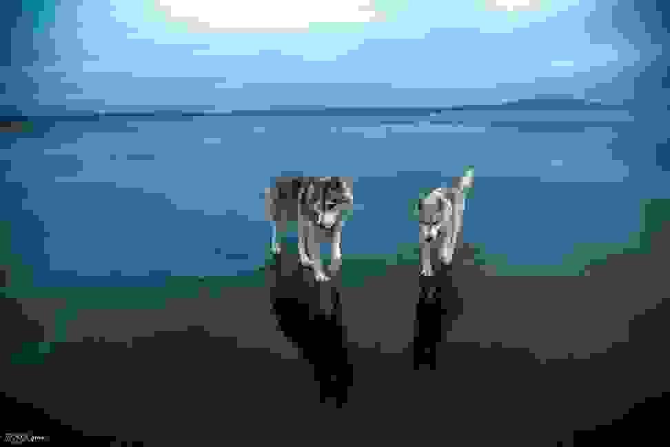 Huskies-Walking-On-Water-12.jpg
