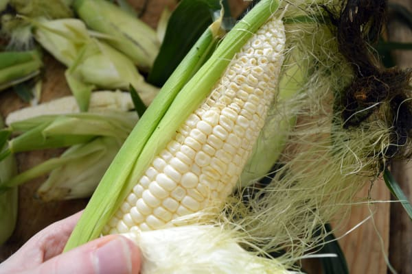 This corn is perfectly good to eat, it just has an underdeveloped tip.
