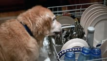 Dog Is Not A Good Dishwasher