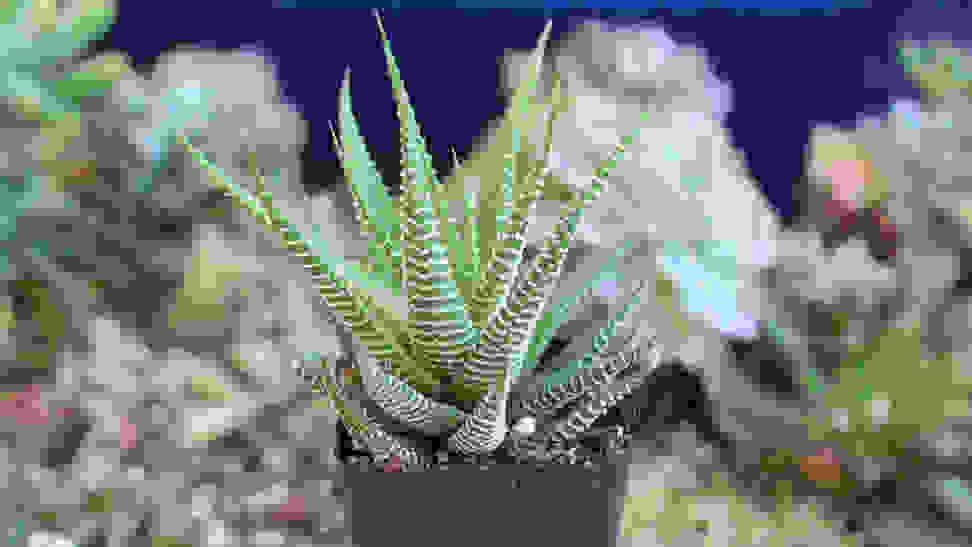Etsy Succulent