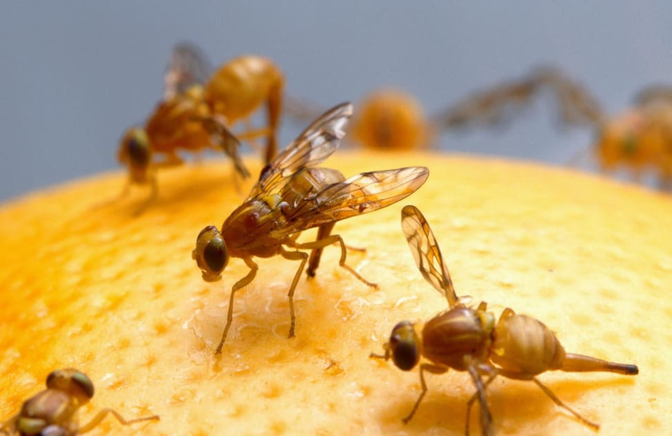 How To Get Rid Of Fruit Flies Using Household Items Reviewed Refrigerators
