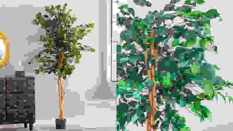 7 Ficus tree