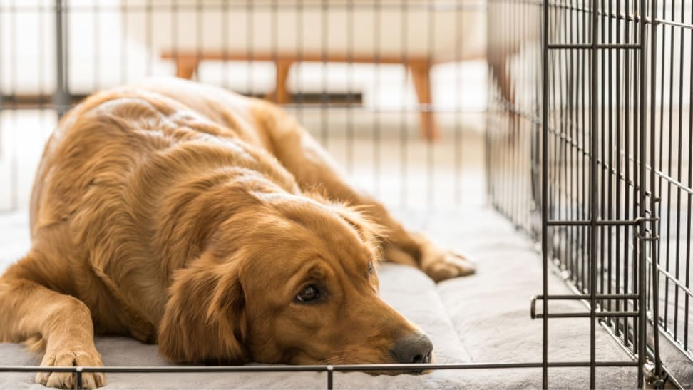 A golden retriever lays down on the floor of a dog crate