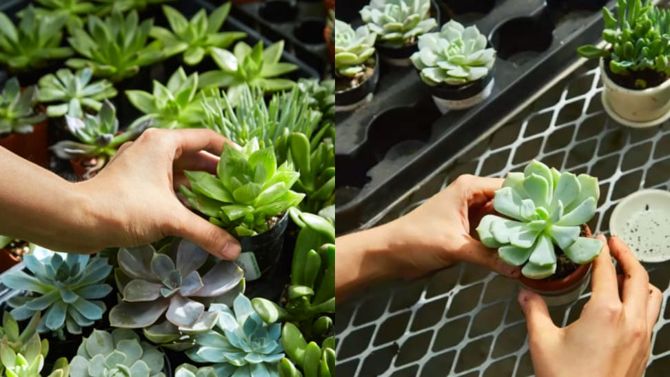Side by side image of repotting plants.