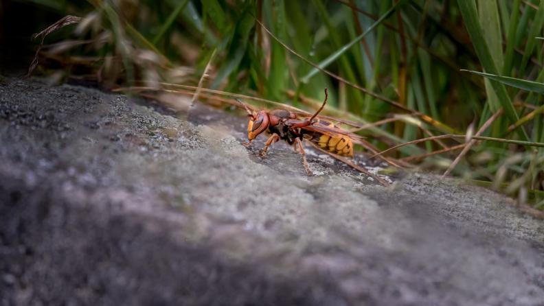 hornet on rock