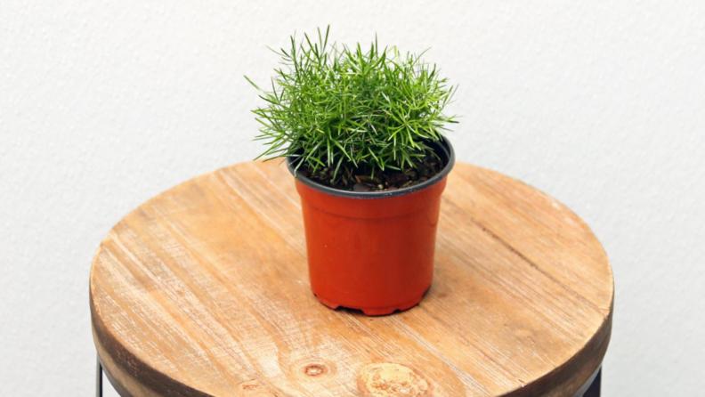 Asparagus fern plant.