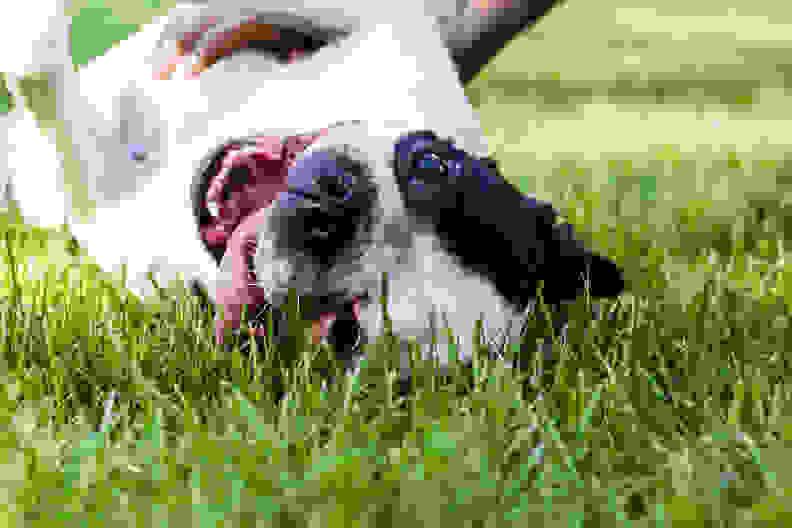 Boston Terrier Smile