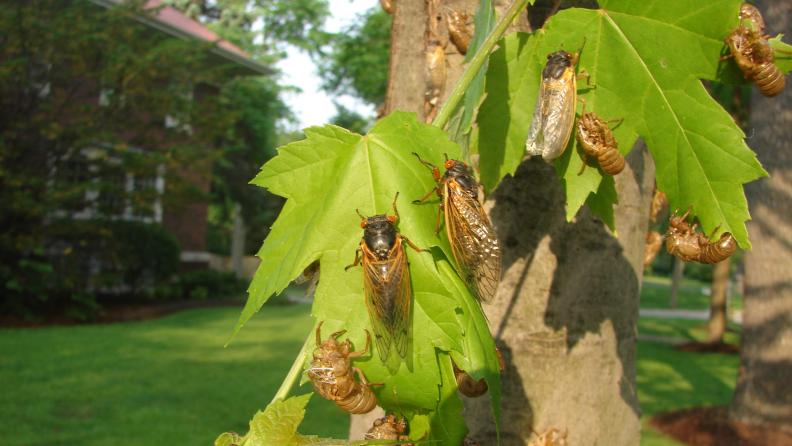 cicada leaves