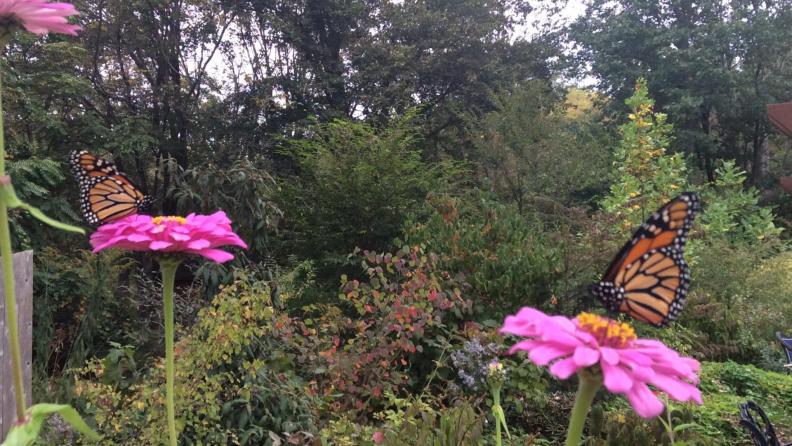 Monarch butterflies on zinnias