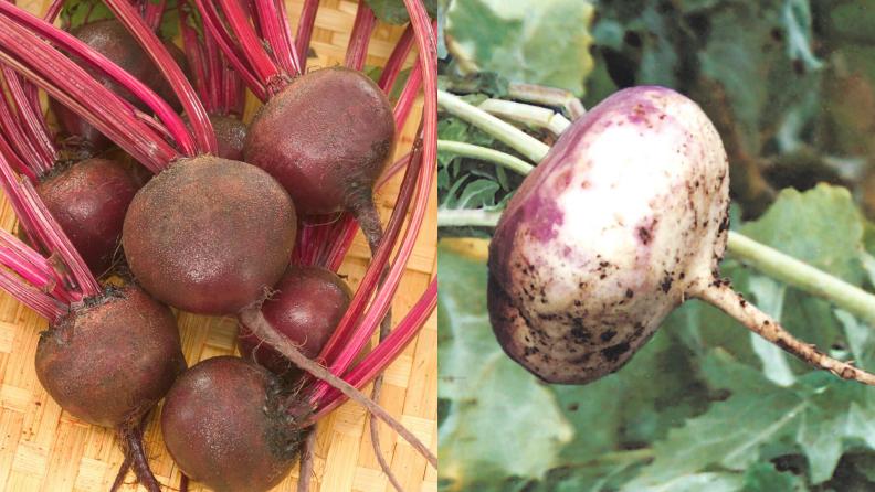beet_turnip