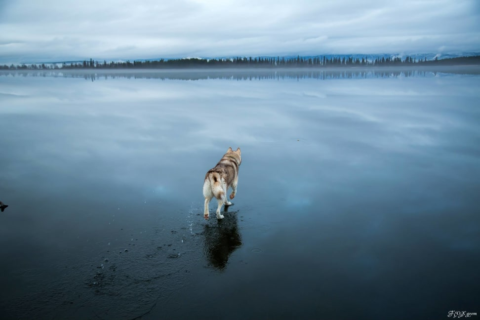 Huskies-Walking-On-Water-4.jpg