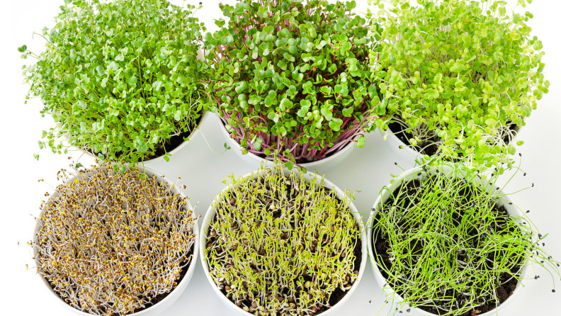 Microgreens and sprouts at home
