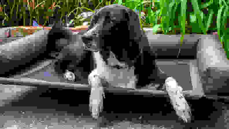 An image of a black and white dog atop a cot.