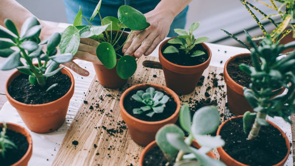 This person potting succulents could be considering the best online plant nursery.