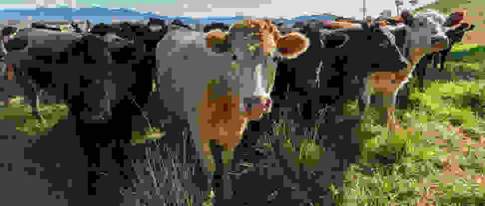 Beef cattle on a ranch