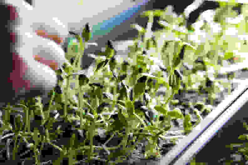Microgreens Being Grown