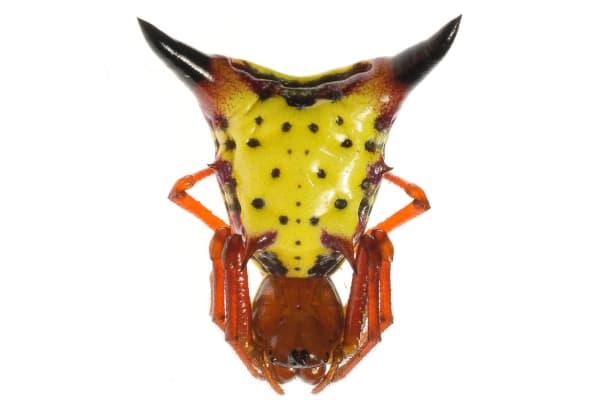 Arrow-shaped Micrathena spider