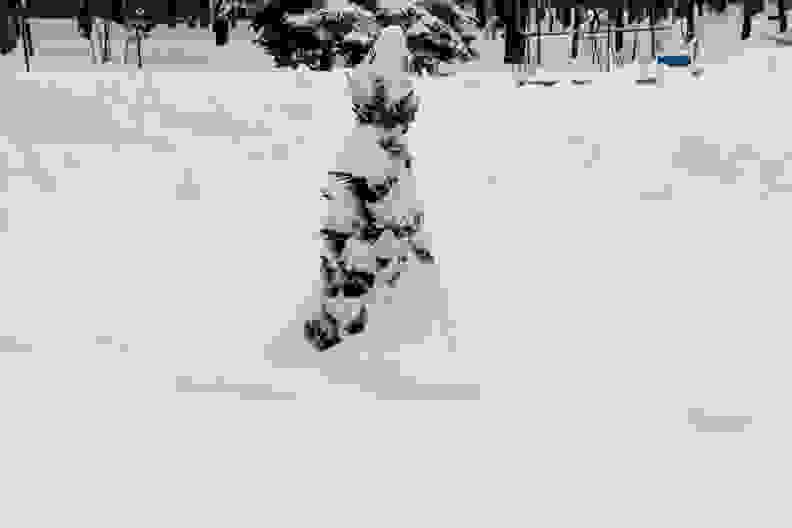 Arborvitae-in-snow
