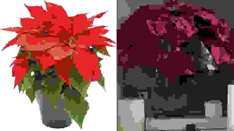 Real vs. fake pointsettia plants