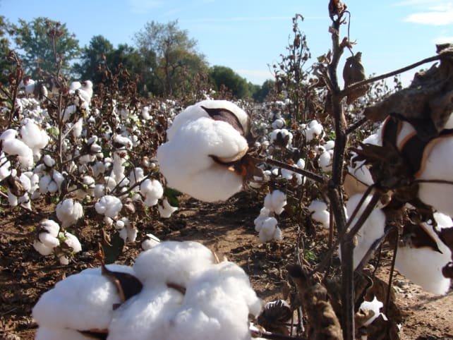 cotton-flickr-martinlabar.jpg