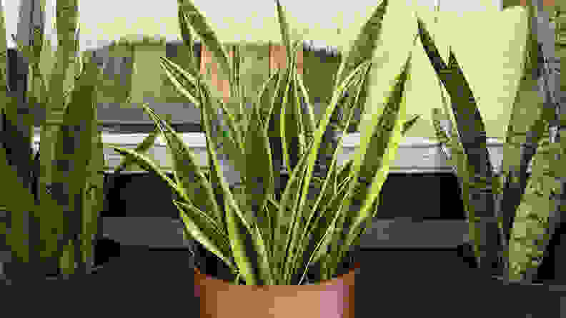 Costa Farms Live Indoor Snake Plant