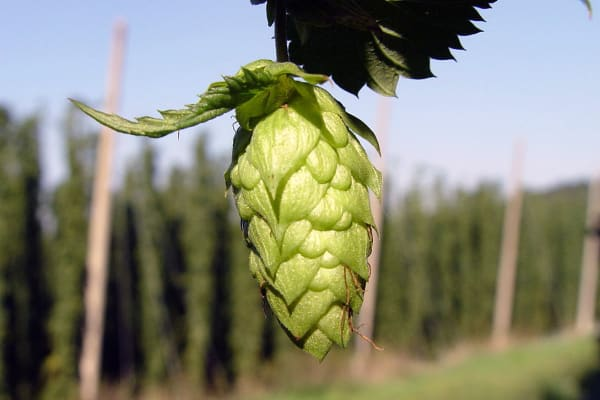 The Beer Dress design was based on the hop plant.