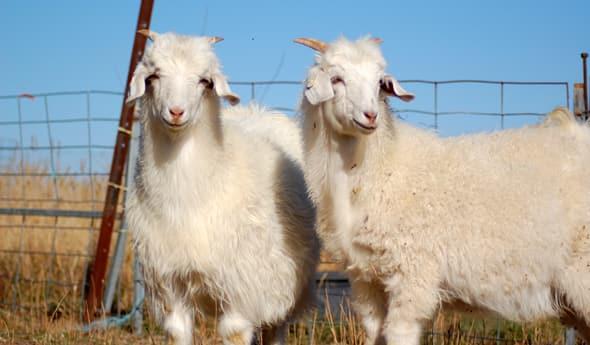 Australian_Cashmere_Goats.jpg