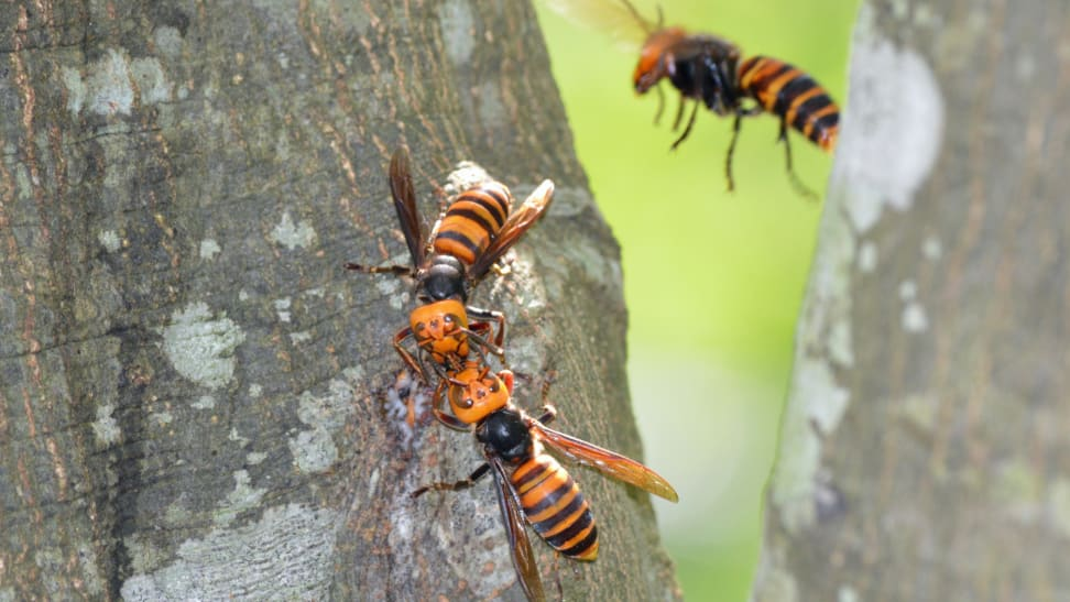 Asian giant hornets, aka murder hornets, may be in your yard