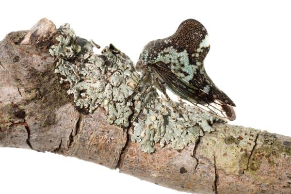 Lichen Treehopper