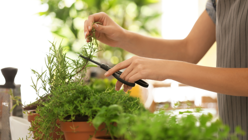clipping herbs