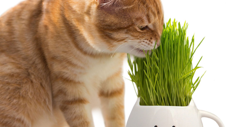 An image of a cat nibbling at cat grass.