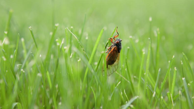 cicada grass