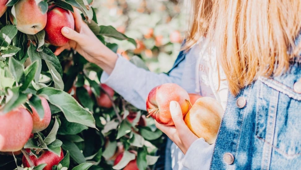 A person picks apples from a tree.