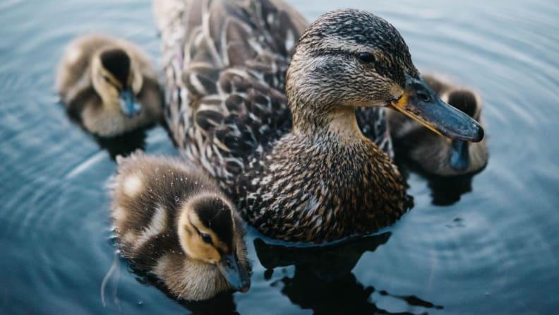 duckling/duck down