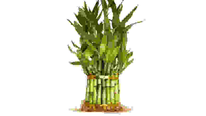 9GreenBox Lucky Bamboo