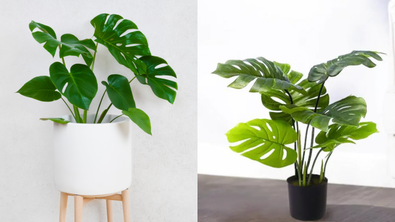 On the left, a real monstera plant in a white and wooden planter. On the right, a fake monstera plant in a black planter against a white wall.